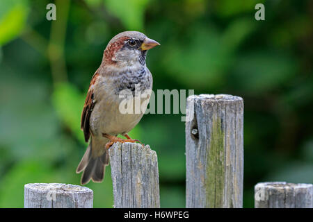 House sparrow (Passer domesticus) on fence post. - Stock Photo
