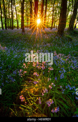 Evening sun and bluebell woodland, Cootehall, County Roscommon, Ireland. - Stock Photo