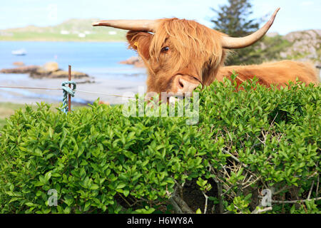 Highland cow eating a hedge as there are areas of common grazing which means the animals are not fenced in and can - Stock Photo