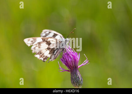 Marbled White Butterfly; Melanargia galathea Single on Flower Cornwall; UK - Stock Photo