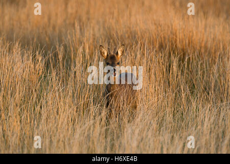 Roe Deer; Capreolus capreolus Single Buck in Meadow Scotland; UK - Stock Photo