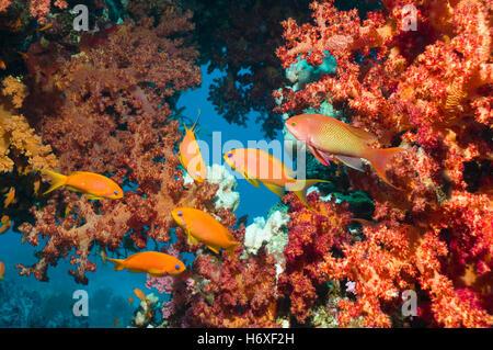 Lyretail anthias or Goldies (Pseudanthias squamipinnis) with soft corals.  Egypt, Red Sea. - Stock Photo