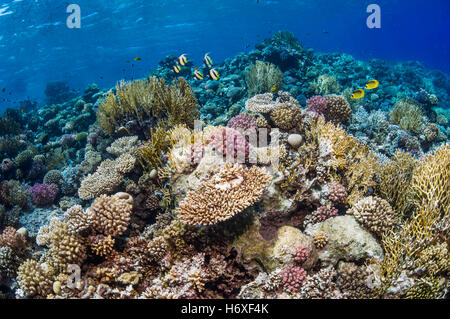 Top of coral reef with Red Sea bannerfish [Heniochus intermedius] and Red Sea butterflyfish [Chaetodon fasciatus]. - Stock Photo