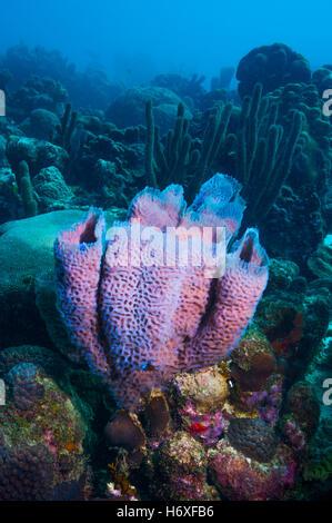 Azure Vase Sponge Coral Callyspongia Plicifera And Life On Bari