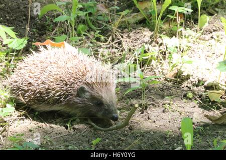Young hedgehog in natural habitat available in high-resolution and several sizes to fit the needs of your project - Stock Photo