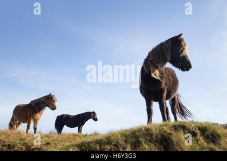 Dartmoor ponies looking down from a high ridge on the moor. - Stock Photo