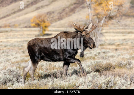 Bull Moose - adult male Shiras Moose - Alces alces
