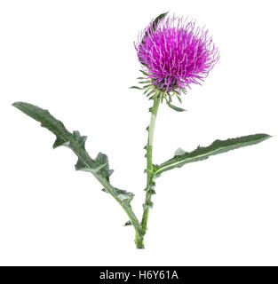 Cirsium arvense flower isolated on white background - Stock Photo