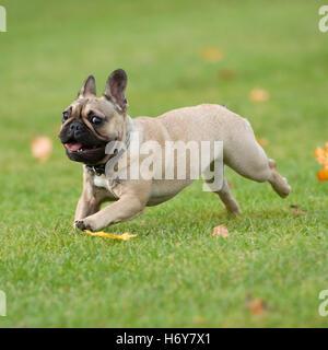 french bulldog, running - Stock Photo