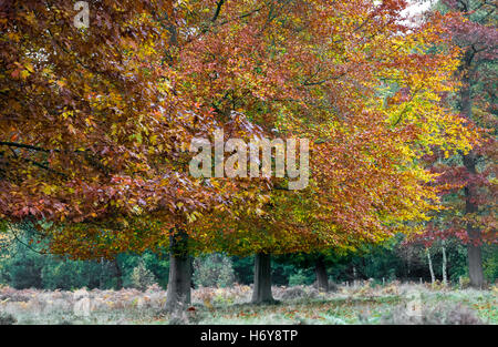 The oak and beech trees with their leaves in autumn colour. - Stock Photo