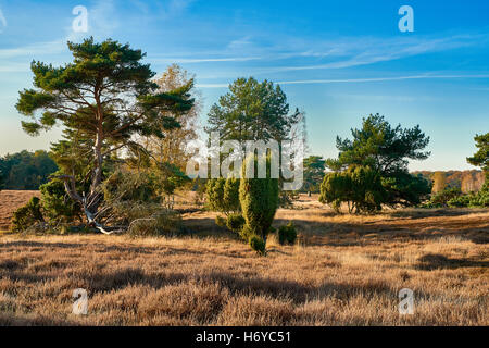 Heather landscape with grazing sheep in autumn light - Stock Photo