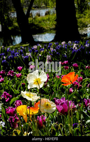 colourful poppy, tulips and hyacinth flowers on display. floriade 2008. canberra. act - Stock Photo
