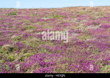 colorful heath vegetation detail seen around Pointe du Raz in Brittany, France - Stock Photo