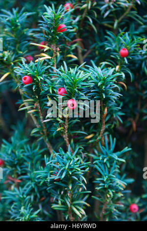 Common Yew (Taxus baccata), Kent, UK, autumn - Stock Photo