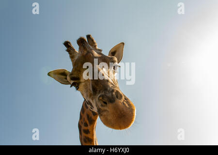 Giraffe head, surprise stares at me on a sunny day. - Stock Photo