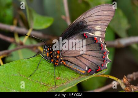 Polydamas Swallowtail  Battus polydamas    Gomez Farias, Mexico 26 January 2004       Adult       Papilionidae  - Stock Photo