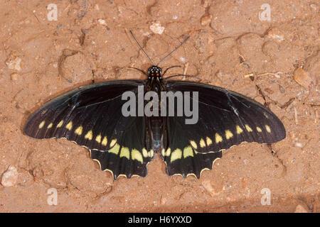 Polydamas Swallowtail  Battus polydamas    Gomez Farias, Mexico 13 November 2003       Adult       Papilionidae - Stock Photo