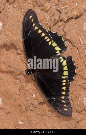 Polydamas Swallowtail  Battus polydamas    Gomez Farias, Mexico 13 November 2003       Adult       Papilionidae - Stock Photo