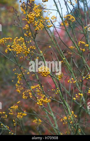 Sorbus Ethels Gold. Rowan tree berries in autumn. UK - Stock Photo
