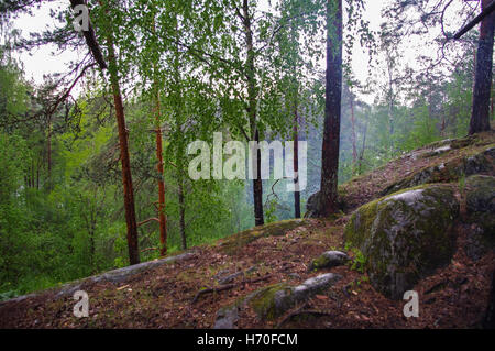 Wild pine trees at dawn during sunrise in a beautiful alpine forest  Karelia, Russia after the rain. High humidity - Stock Photo