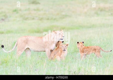 Lioness (Panthera leo) greeting cubs, Maasai Mara national reserve, Kenya - Stock Photo