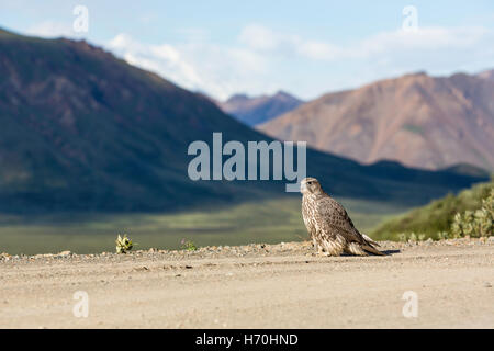 Juvenile Gyrfalcon (Falco rusticolus) on Denali Park Road at Polychrome Overlook in Denali National Park in Southcentral - Stock Photo
