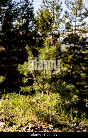 Nature Scenic Close Up of Small Evergreen Tree Sapling Growing in Forest with Mature Coniferous Trees in Background - Stock Photo