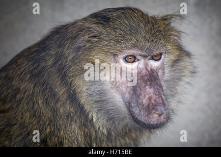 Young baboon is looking to the side - Stock Photo