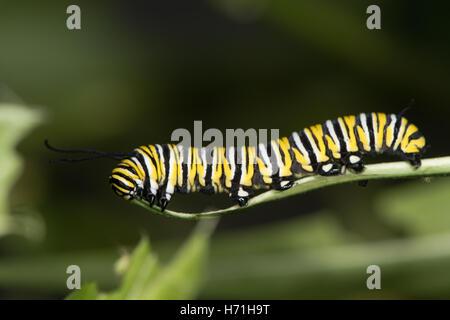 Tìm hiểu Bướm - Page 20 Monarch-butterfly-danaus-plexippus-caterpillar-mature-larva-fifth-h71h9t