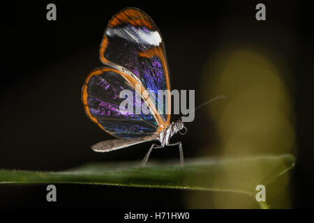 Glasswinged butterfly (Greta oto). Transparent Central and Southern American brush-footed butterfly in the family - Stock Photo