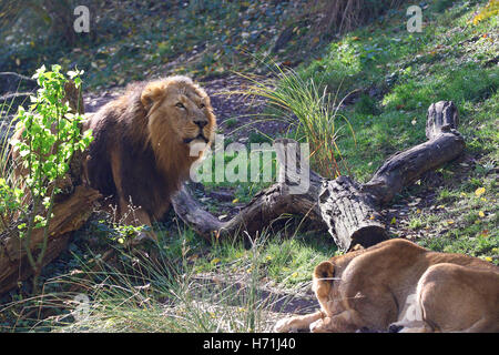 A male African lion,Panthera leo, peeking from behind some bushes with lioness in the foreground - Stock Photo