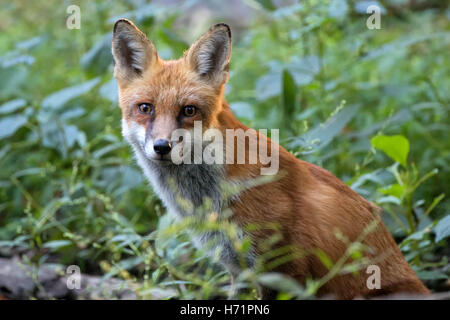 Twig the red fox Seated in the green undergrowth - Stock Photo
