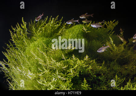 Underwater landscape. Planted tropical freshwater aquarium with fishes. - Stock Photo