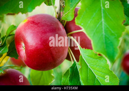 Close up of red  Jonathan Apple ripening on tree in orchard. - Stock Photo