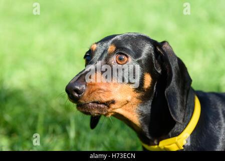 Headshot portrait of black and brown dachshund dog wearing yellow collar - Stock Photo