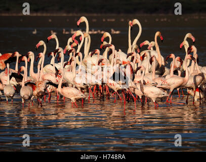 Greater & lesser flamingos strutting in shallows of Lake Bogoria Kenya Africa creating a riot of pink in strong - Stock Photo