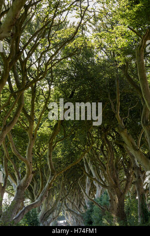 The dark hedges, Bregagh Rd, Ballymoney, Avenue of Beech trees used in game of thrones series, Antrim Ireland - Stock Photo
