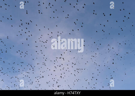 A murmuration of starlings fly overhead in Aberystwyth. - Stock Photo