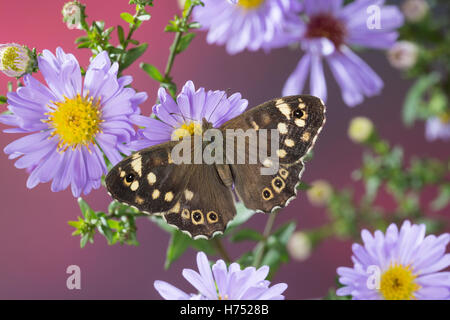 Wald-Brettspiel, Waldbrettspiel, Brettspiel, Laubfalter, Pararge aegeria, speckled wood, Le Tircis - Stock Photo