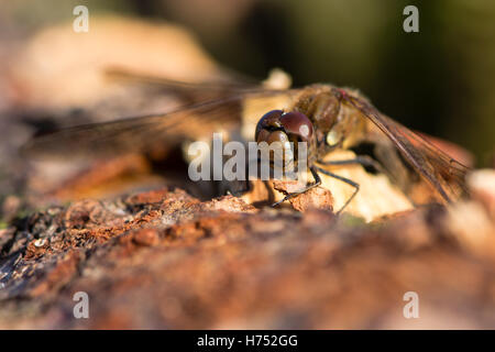 Common darter (Sympetrum striolatum) male. Red dragonfly in the family Libellulidae, showing black legs with yellow - Stock Photo