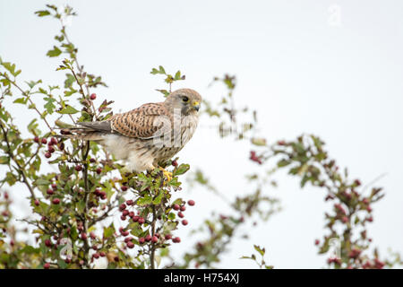 Common kestrel (Falco tinnunculus). Female searching for prey from a hawthorn tree in autumn. - Stock Photo