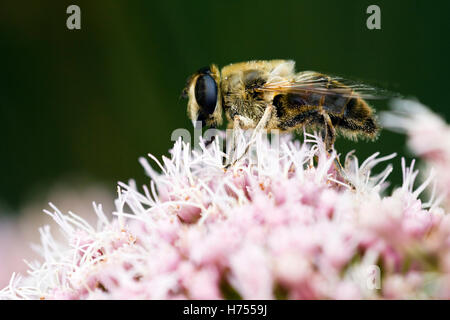 Honey bee collecting pollen on a pink flower - Stock Photo
