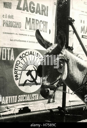 Mule beside the political posters, Rome, Italy - Stock Photo