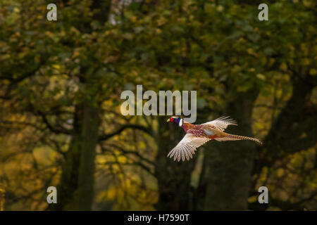 Pheasant in flight by a Yorkshire woodland, Burley-in-Wharfedale, Yorkshire, UK - Stock Photo