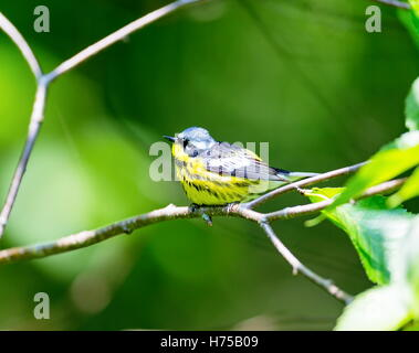 The Magnolia Warbler is a handsome and familiar warbler of the northern forests. It migrates to the boreal forests - Stock Photo