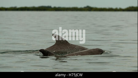 dolphin diving into the calm water, bay in the archipelago of Bocas del Toro, Caribbean sea, Panama - Stock Photo