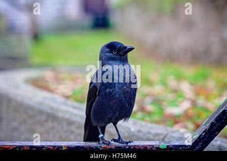 A full length sharply rendered portrait of a Jackdaw standing on a black iron railing against an autumnal blurred - Stock Photo
