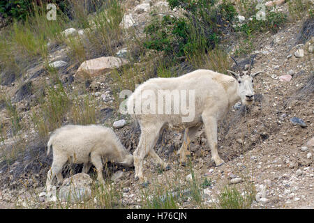 Rocky Mountain goat (Oreamnos americanus) female with young foraging in rocky mountain slope, Jasper National Park, - Stock Photo