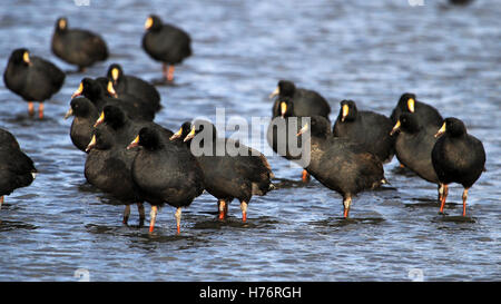 Giant coots, lake Tajsara, southern Bolivia South America - Stock Photo