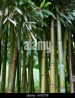 Wald aus grünen Bambus-Stangen, Bambusblätter, green Bamboo densely grown, with green bamboo leaves - Stock Photo